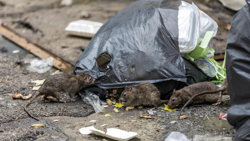 Rotter er skadedyr som beveger seg mellom rene og urene områder og kan derfor overføre smitte og bakterier. Illustrasjonsbilde.