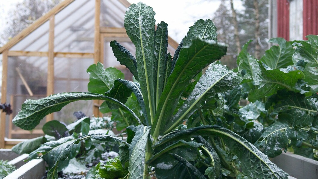 Grønnkålen blir ekstra søt og god om vinteren.