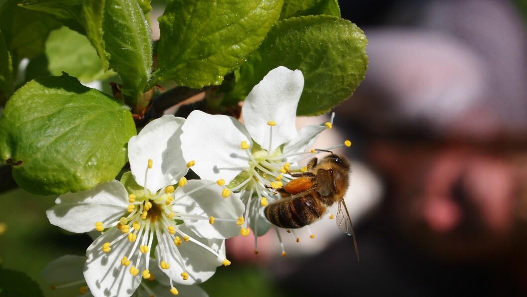Bie på plommeblomst. Bienes pollinering sikrer bedre kvalitet, høyere avling og jevnere modning av frukt, bær og oljevekster.