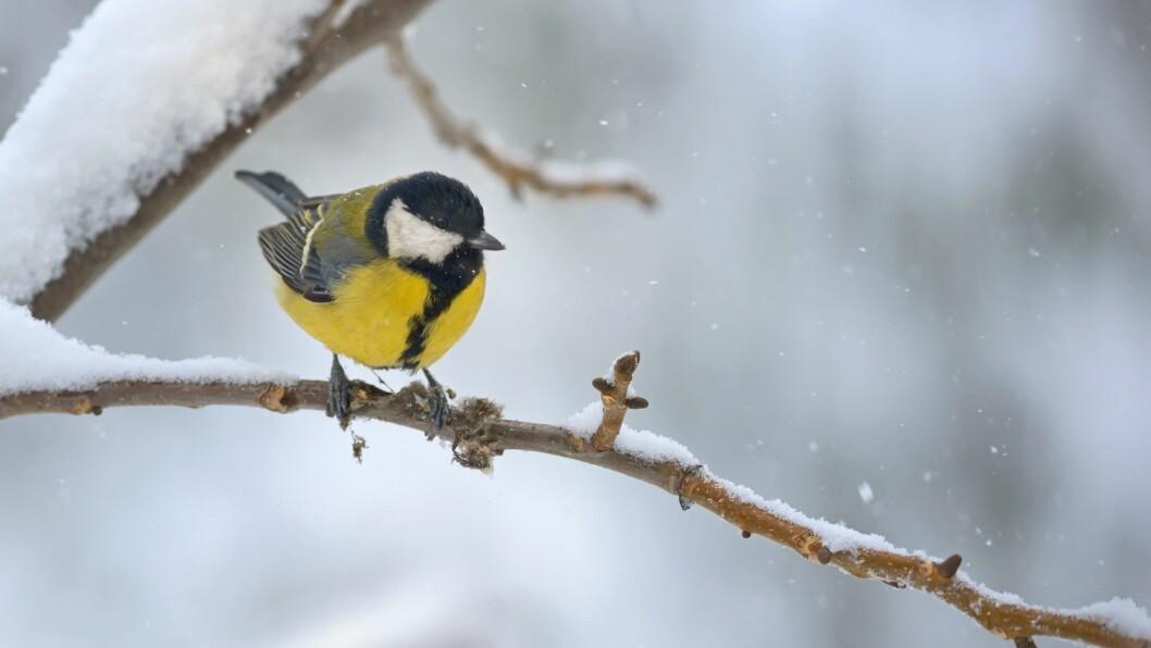 I Norge ble hagefugltellingen gjennomført for første gang i 2008. Hvert år har kjøttmeis vært den mest utbredte fuglearten.