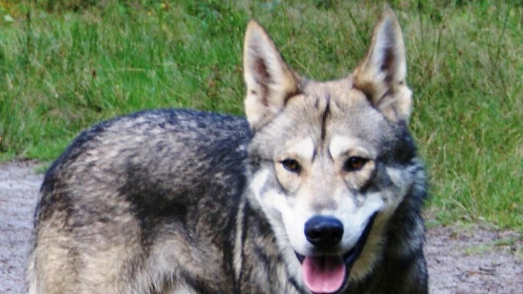 Det var en hund av typen saarloos wolfhond, en krysning mellom ulv og schäfer, som gikk til angrep på treåringen i Maurtua barnehage.