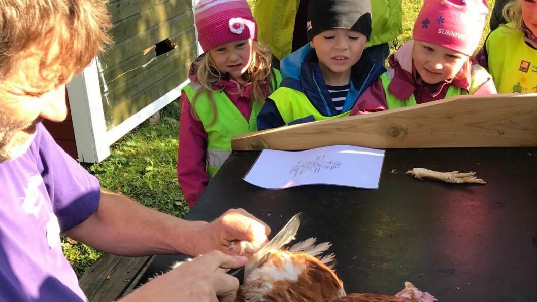 Barna fulgte spent med da Finn Arne Almås ved Bodin 4H-gård arbeidet med den avlivede høna. Alle foto: Norlandia Kjeldmyrlia barnehage