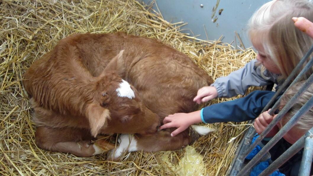 I Haugland gardsbarnehage kommer barna tett på gårdsdriften.