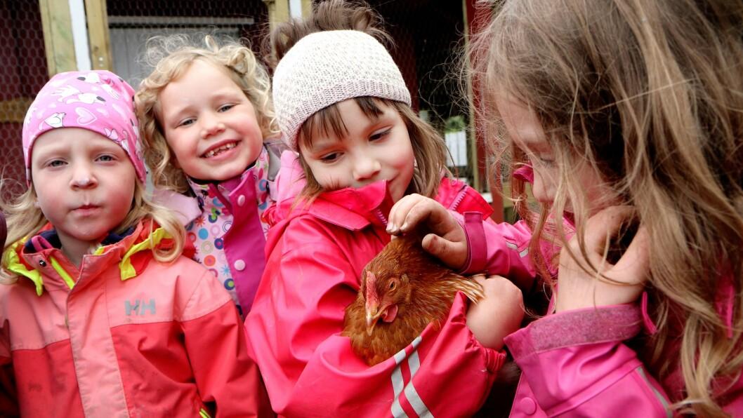 Empati og omsorg, samarbeid og respekt. Det er noen av ferdighetene barna får med seg gjennom å ta vare på hønene i Vollen barnehage.