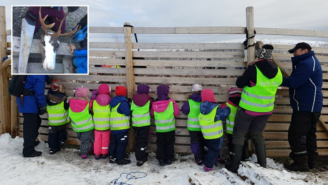 Hvert år reiser de eldste barna i den samiske barnehagen Álttá Siida barnehage til reingjerdet ved Áisaroaivi i Finnmark for å følge reinslaktingen.