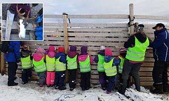 Tar barna med på reinslakting: - Barna skal få et innblikk i denne delen av samisk kultur