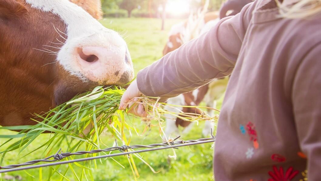 """Enkelte veganere synes lite om teksten """"Kua mi, jeg takker deg - deilig melk du gir til meg."""" Illustrasjonsfoto: Getty Images"""