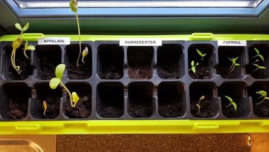 Barnehagen har hatt prosjekter der de har utforsket hva som skjer når de planter frø fra frukt og grønnsaker de har spist.