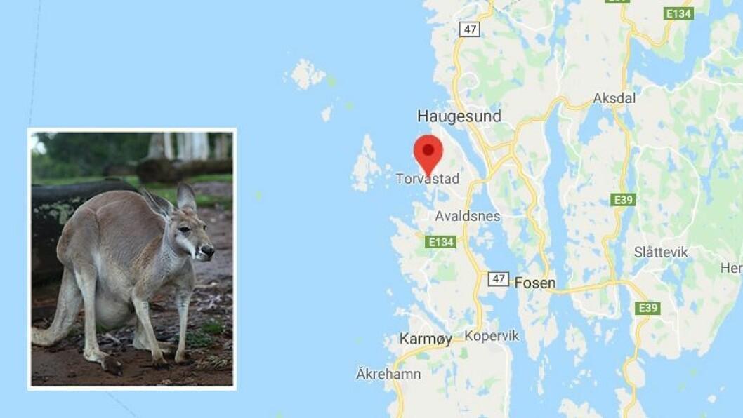Bildet av kenguruen er et illustrasjonsbilde hentet fra Getty Images, og ikke et bilde av kenguruen som holder til i området ved barnehagen på Torvastad.