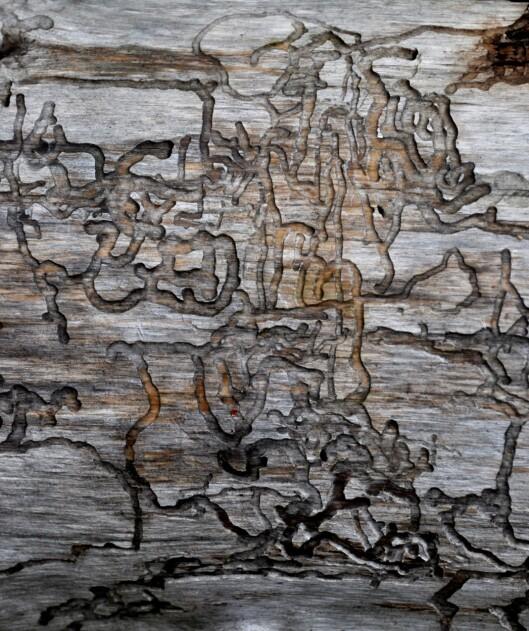 Mønsteret er merker etter trelevende larver som har spist på treverket innenfor barken, forteller Bakke.