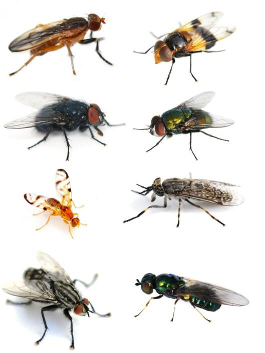 I Norge finnes det rundt 3000 fluearter.